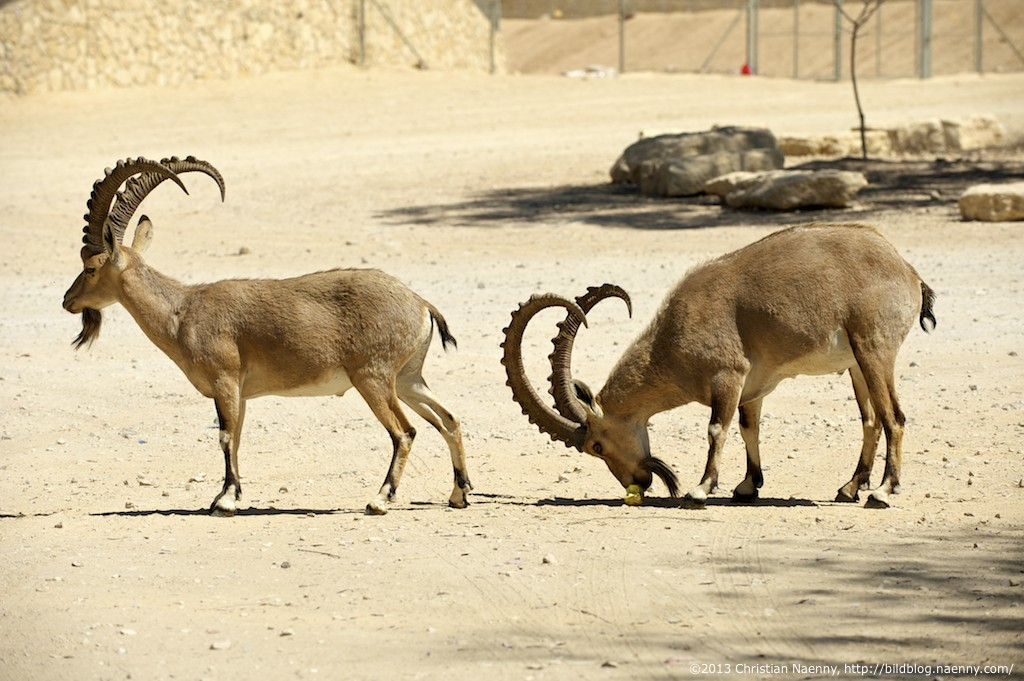 two ibexes in the negev